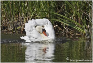 https://www.waibe.fr/sites/photoeg/medias/images/OISAUX/Copie_de_cygne_61.jpg