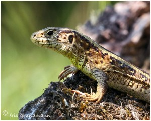 https://www.waibe.fr/sites/photoeg/medias/images/REPTILES/2013-lezard_femelle_05.jpg
