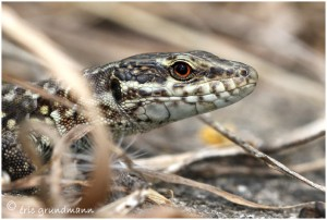 https://www.waibe.fr/sites/photoeg/medias/images/REPTILES/lezard_des_murailles_03.jpg