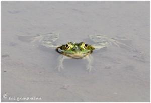 https://www.waibe.fr/sites/photoeg/medias/images/__HIDDEN__galerie_15/2013-grenouilles_13.jpg