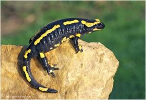https://www.waibe.fr/sites/photoeg/medias/images/__HIDDEN__galerie_15/salamandre_012c.jpg