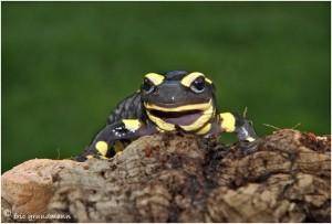 https://www.waibe.fr/sites/photoeg/medias/images/__HIDDEN__galerie_15/salamandre_01c.jpg
