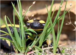 https://www.waibe.fr/sites/photoeg/medias/images/__HIDDEN__galerie_15/salamandre_020.jpg