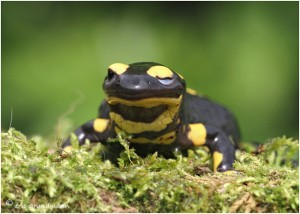https://www.waibe.fr/sites/photoeg/medias/images/__HIDDEN__galerie_15/salamandre_044c.jpg