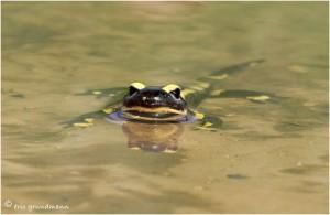 https://www.waibe.fr/sites/photoeg/medias/images/__HIDDEN__galerie_15/salamandre_045.jpg
