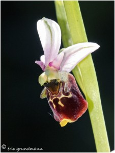 https://www.waibe.fr/sites/photoeg/medias/images/__HIDDEN__galerie_22/2016-orchideee_bourdon_03.jpg