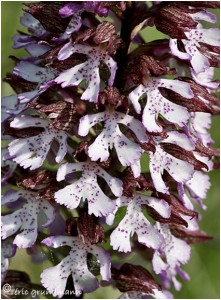 https://www.waibe.fr/sites/photoeg/medias/images/__HIDDEN__galerie_22/Orc-orchis_pourpre__7_.jpg