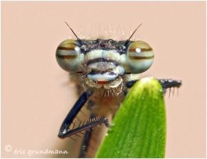 https://www.waibe.fr/sites/photoeg/medias/images/new_nature/2012-_demoiselle_03p.jpg