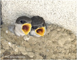 https://www.waibe.fr/sites/photoeg/medias/images/new_nature/2013-hirondelles_fenetre_nid_01.jpg