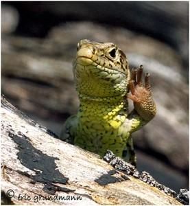 https://www.waibe.fr/sites/photoeg/medias/images/new_nature/2013-lezard_femelle_08b.jpg