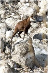 https://www.waibe.fr/sites/photoeg/medias/images/new_nature/chamois_20x30_04b.jpg