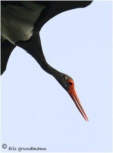 https://www.waibe.fr/sites/photoeg/medias/images/new_nature/cigogne_noire_02b.jpg