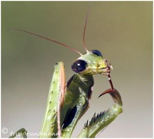 https://www.waibe.fr/sites/photoeg/medias/images/new_nature/mante_04b.jpg