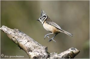 https://www.waibe.fr/sites/photoeg/medias/images/new_nature/mesange_huppee_n_23.jpg