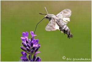 https://www.waibe.fr/sites/photoeg/medias/images/new_nature/sphynx_moro.jpg