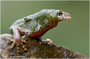 https://www.waibe.fr/sites/photoeg/medias/images/new_nature/triton_022C.jpg